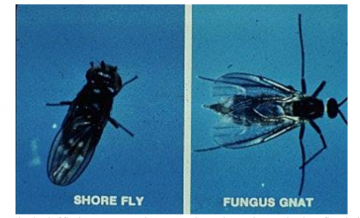 How to Deal With Fungus Gnats | Botany Enthusiasts Club